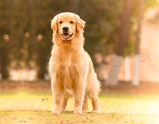 Plantel - Golden Retriever